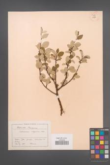 Cotoneaster integerrimus [KOR 55144]
