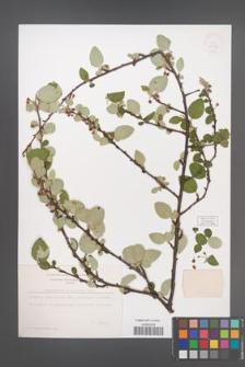Cotoneaster integerrima [KOR 13126]