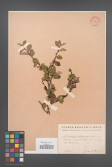 Cotoneaster integerrimus [KOR 13116]