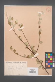 Cotoneaster integerrimus [KOR 13118]