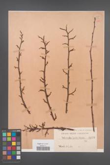 Cotoneaster lucida [KOR 1053]