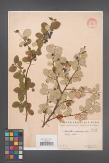 Cotoneaster melanocarpa [KOR 55163]