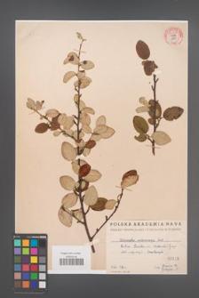 Cotoneaster melanocarpa [KOR 55176]
