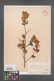 Cotoneaster melanocarpa [KOR 55180]
