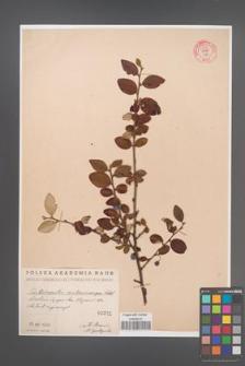 Cotoneaster melanocarpa [KOR 55183]