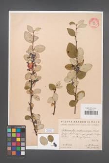 Cotoneaster melanocarpa [KOR 55185]