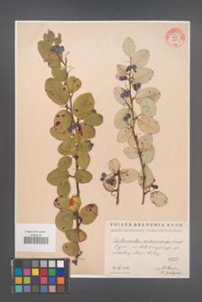 Cotoneaster melanocarpa [KOR 55186]