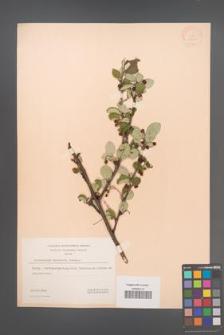 Cotoneaster matrensis [KOR 13106]