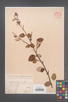 Cotoneaster melanocarpa [KOR 55196]