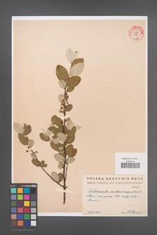 Cotoneaster melanocarpa [KOR 55202]
