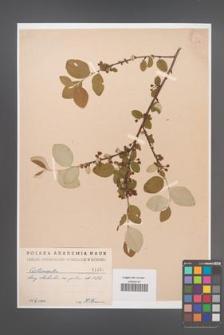 Cotoneaster melanocarpa [KOR 1457]