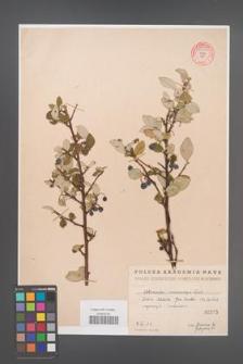 Cotoneaster melanocarpa [KOR 55207]