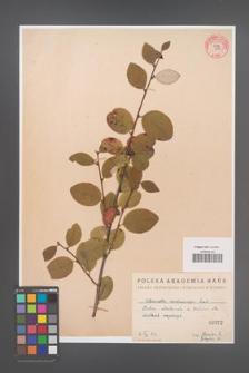 Cotoneaster melanocarpa [KOR 55210]