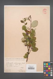 Cotoneaster melanocarpa [KOR 55215]