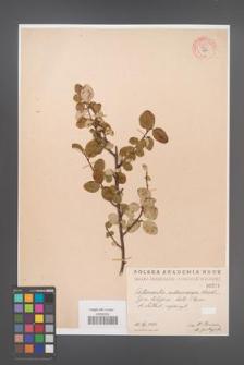 Cotoneaster melanocarpa [KOR 55217]