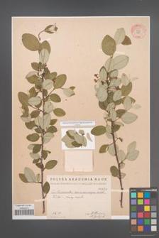 Cotoneaster melanocarpa [KOR 55227]