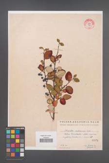 Cotoneaster melanocarpa [KOR 55242]