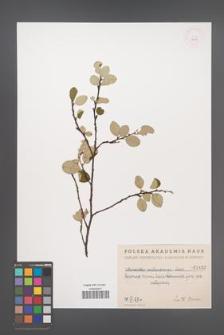 Cotoneaster melanocarpa [KOR 1452]
