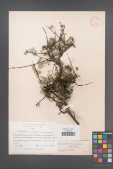 Cotoneaster nummularius [KOR 13190]