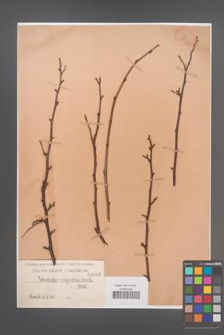 Cotoneaster moupinensis [KOR 1043]