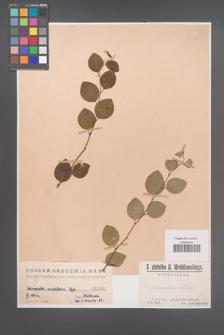 Cotoneaster multiflora [KOR 1041]