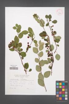 Cotoneaster multiflorus [KOR 43203]