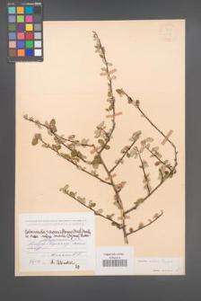 Cotoneaster ovatus [KOR 13138]
