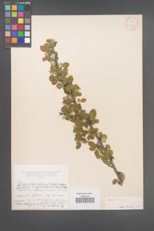 Cotoneaster ovatus [KOR 13079]