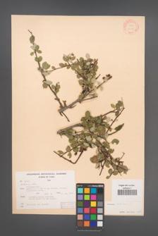 Cotoneaster ovatus [KOR 13201]