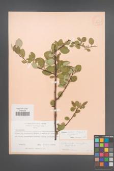 Cotoneaster ovatus [KOR 13135]