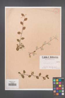 Cotoneaster pannosa [pannosus] [KOR 1032]