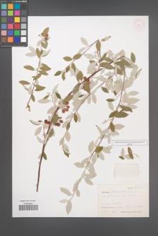 Cotoneaster poluninii [KOR 27672]