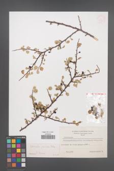 Cotoneaster pruinosa [KOR 13139]