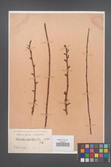Cotoneaster racemiflora [KOR 1031]
