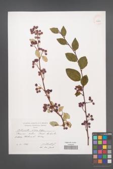Cotoneaster roseus [KOR 39210]