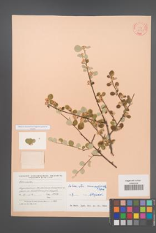 Cotoneaster nummularioides [KOR 23361]