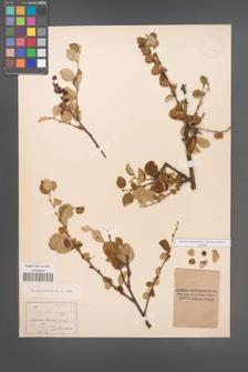 Cotoneaster integerrimus [KOR 13176]