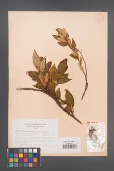 Cotoneaster [KOR 28365]