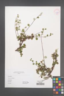 Cotoneaster [KOR 45498]