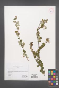 Cotoneaster [KOR 45493]