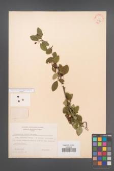Cotoneaster multiflora [KOR 27870]