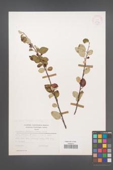 Cotoneaster tomentosus [KOR 25513]