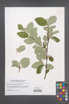 Cotoneaster nebrodensis [KOR 47926]