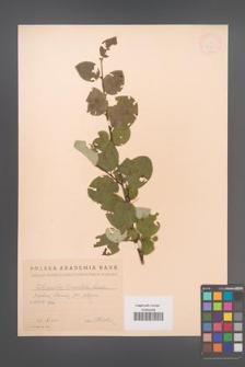 Cotoneaster tomentosus [KOR 13185]