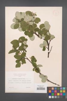Cotoneaster tomentosus [KOR 13177]