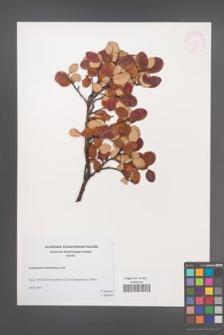 Cotoneaster tomentosa [KOR 4920]