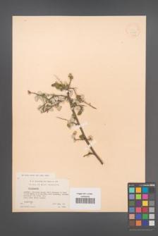 Cotoneaster [KOR 13162]