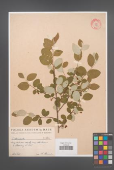 Cotoneaster [KOR 1460]