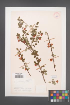 Cotoneaster nitidus [KOR 27666]