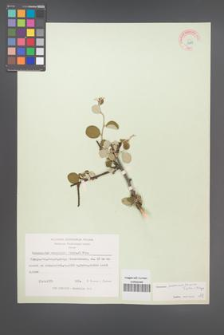 Cotoneaster nummularius [KOR 13189]
